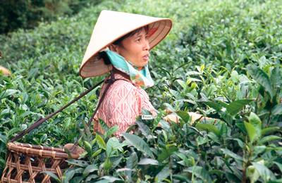 Родина чая – Китай!