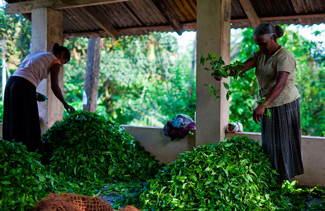 tea cultivation Although camellia sinensis can be grown in warmer parts of the united states, currently the us mainland has only two commercial tea gardens: a relatively large, fully mechanized plantation in charleston, south carolina and a.